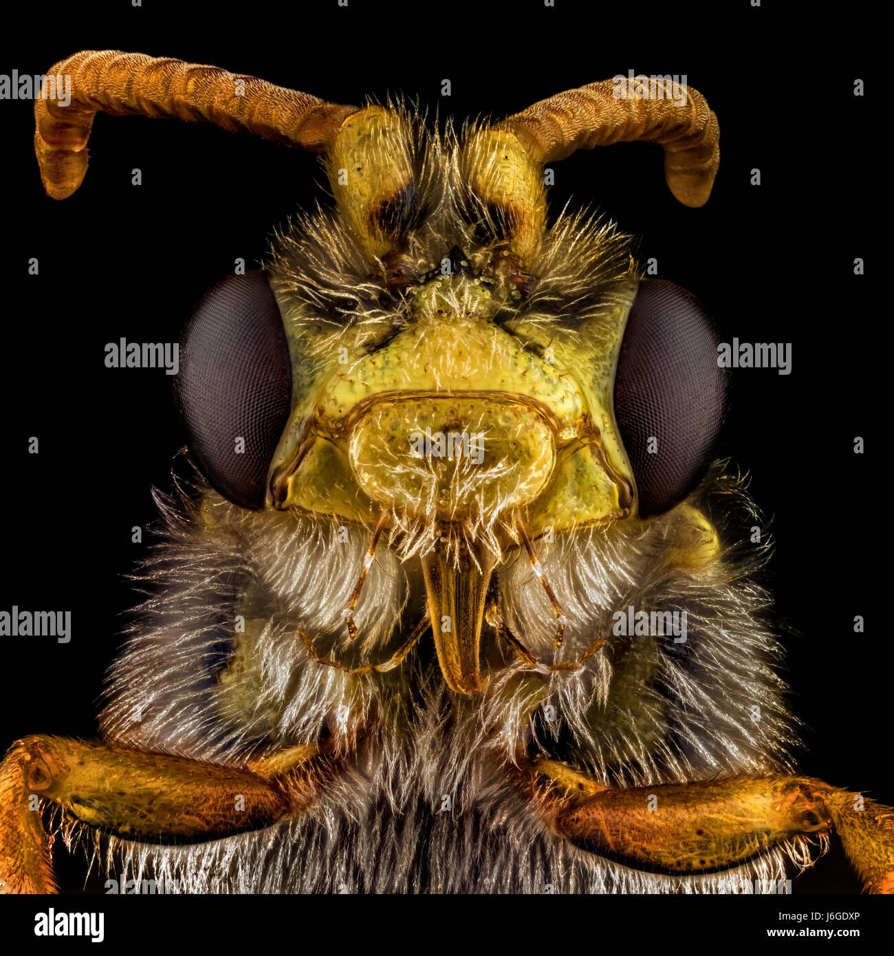 Extreme Makro-Porträt einer Biene, die durch ein Mikroskopobjektiv vergrößert. Stockbild