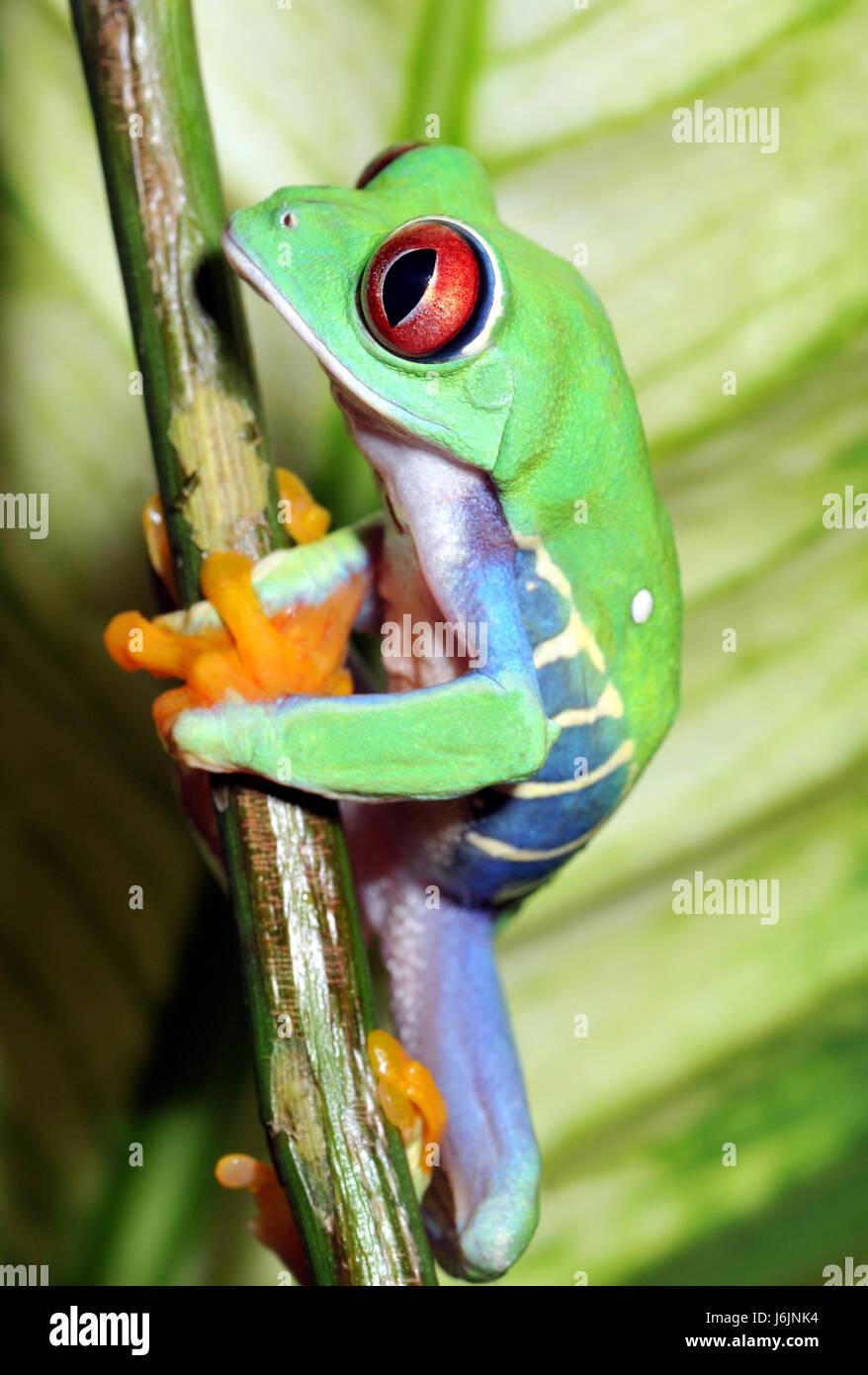 schöne beauteously schöne Orgel Frosch Südamerika Augenfarbe Farben ...