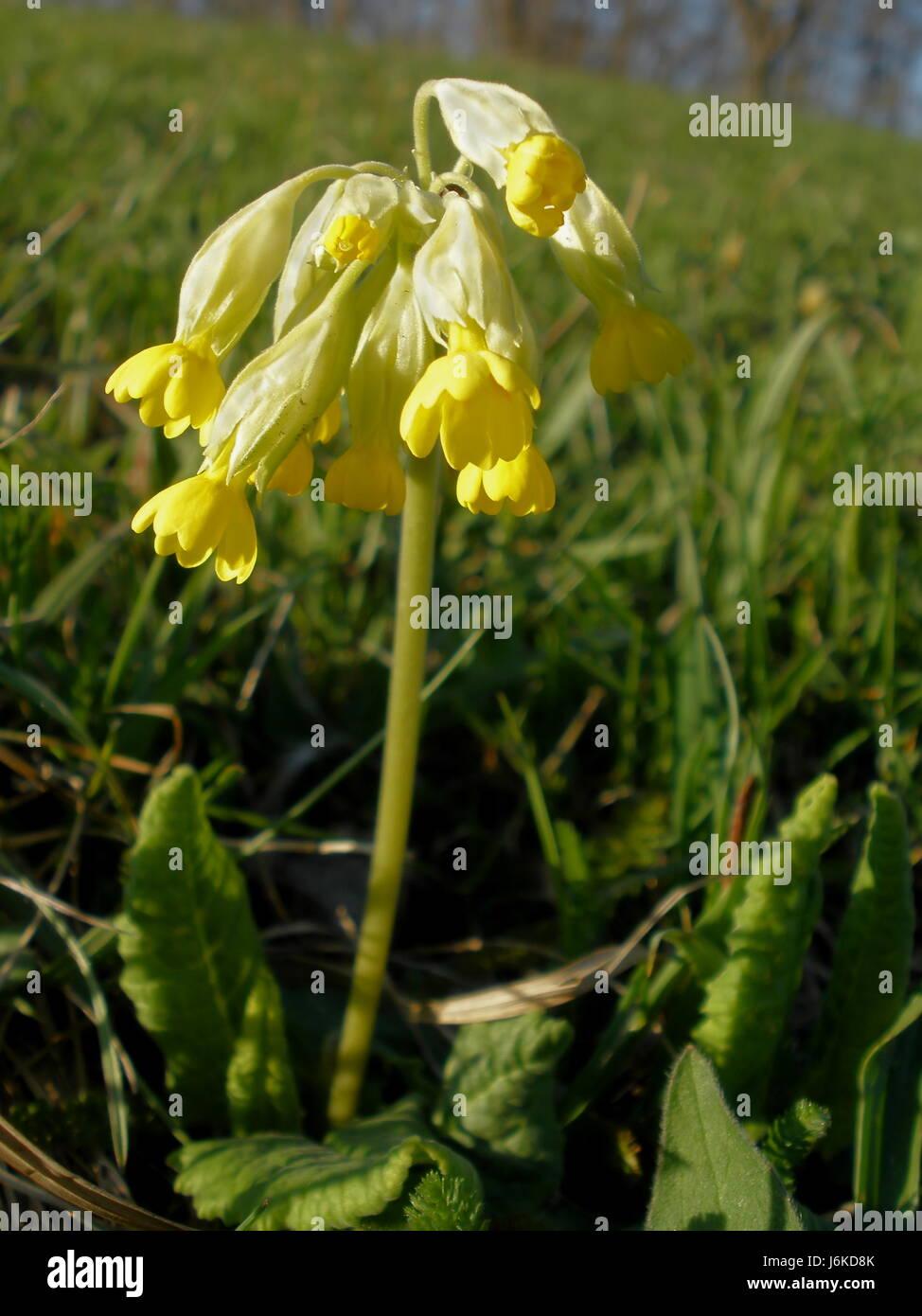 grüne Blüten bluten Primel Wiese Rasen Rasen gelb grüne Blüten ...