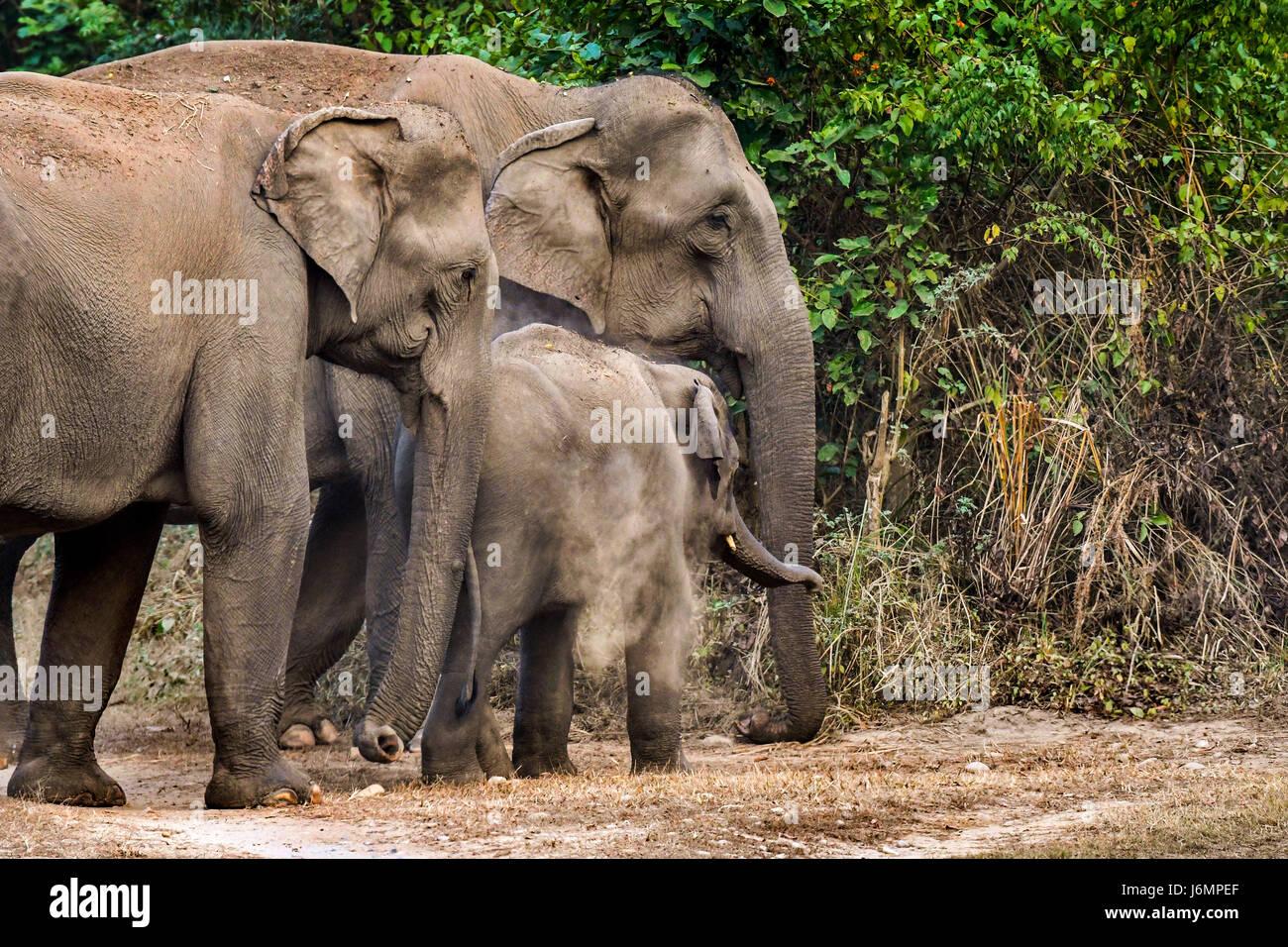Elefantenherde Stockfoto