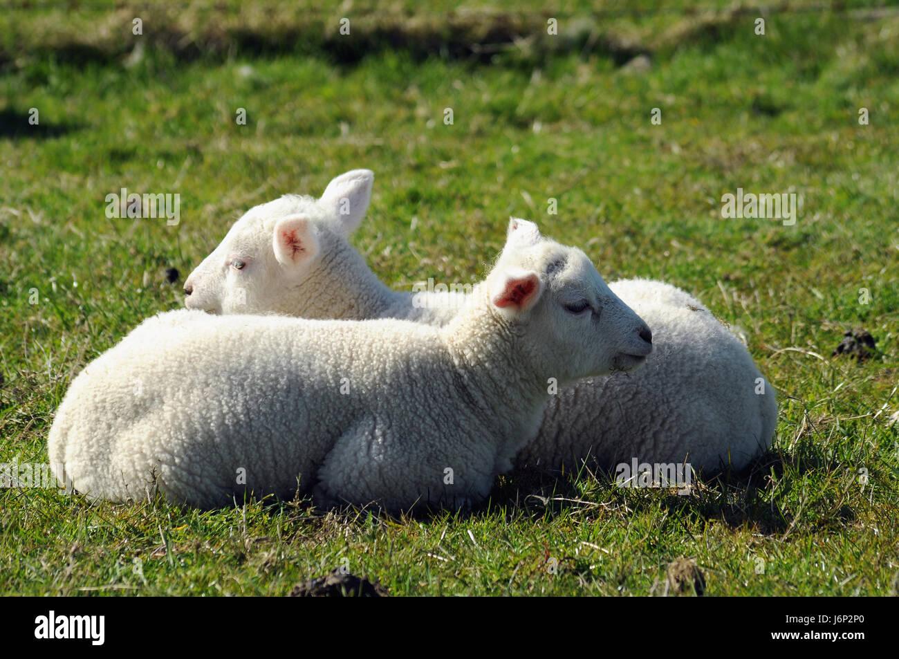 tier schaf deich nordfriesland baby lamm natur tiere haustiere schafe l mmchen stockfoto bild. Black Bedroom Furniture Sets. Home Design Ideas