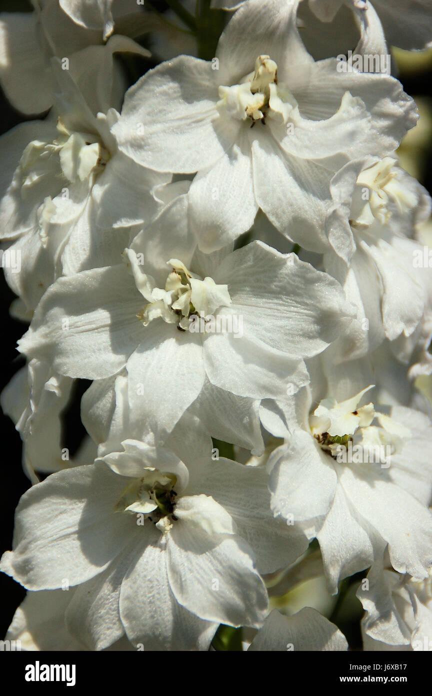 white delphiniums garden flower stockfotos white delphiniums garden flower bilder alamy. Black Bedroom Furniture Sets. Home Design Ideas