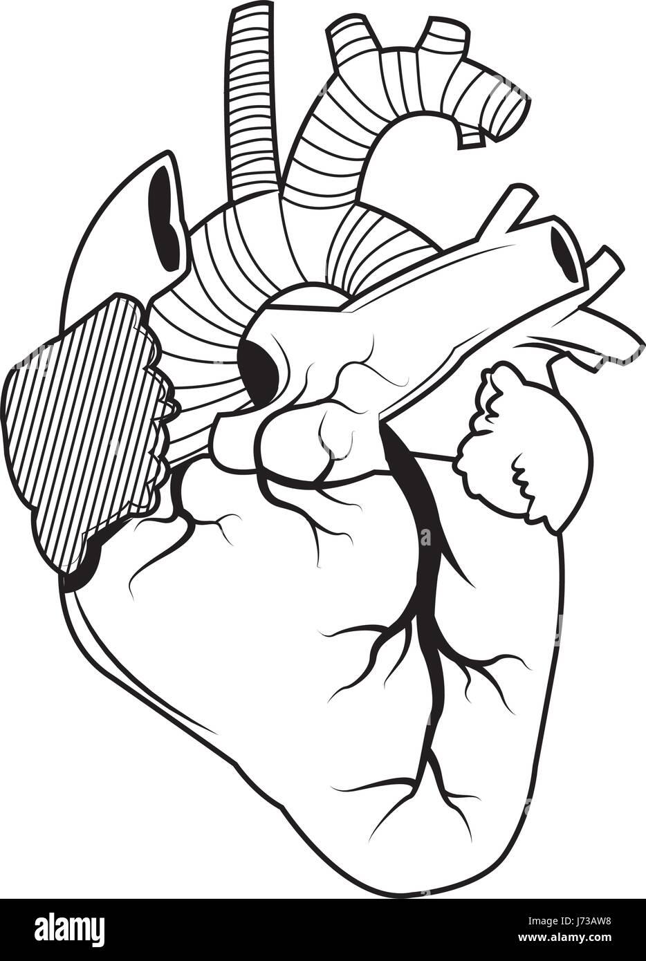 Tolle Herzanatomie Malvorlagen Ideen - Anatomie Ideen - finotti.info