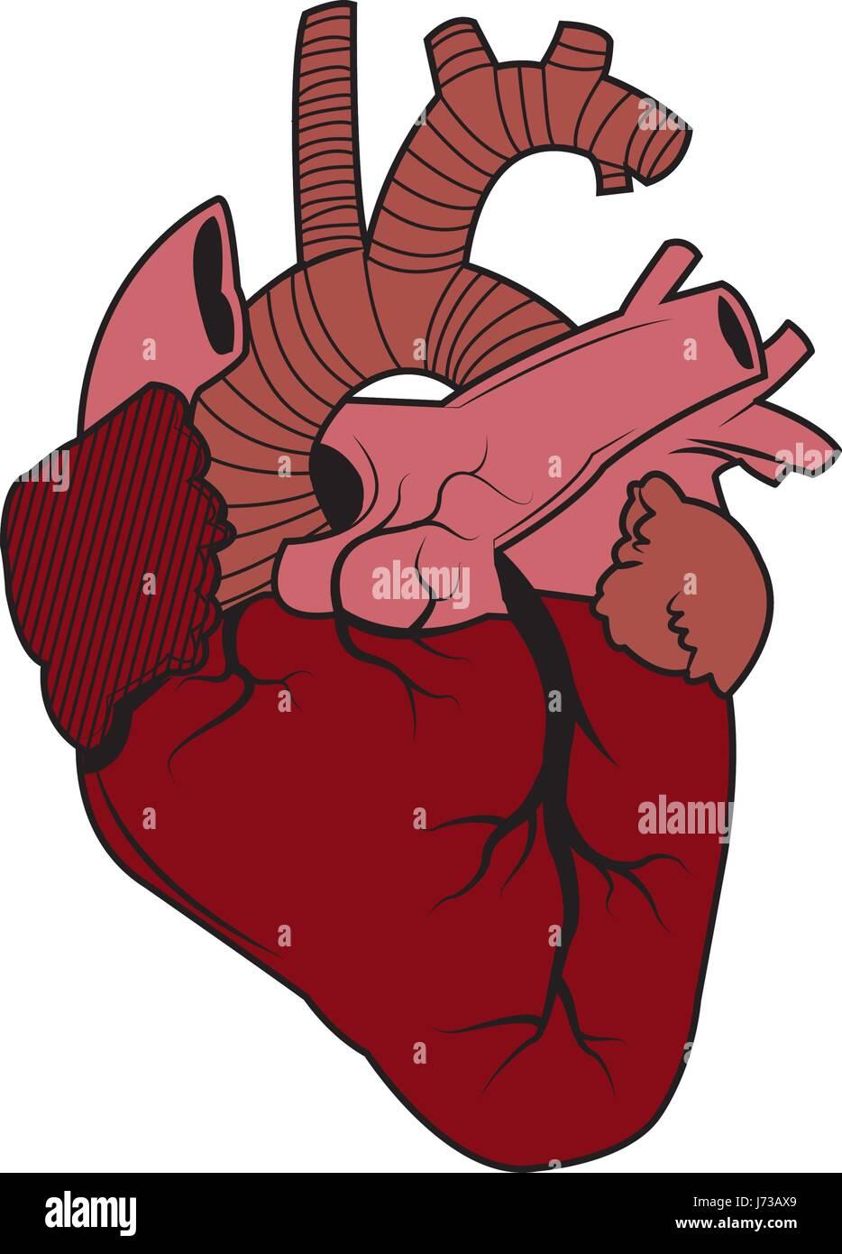 menschliches Herz - Anatomie Biologie gesundes image Vektor ...