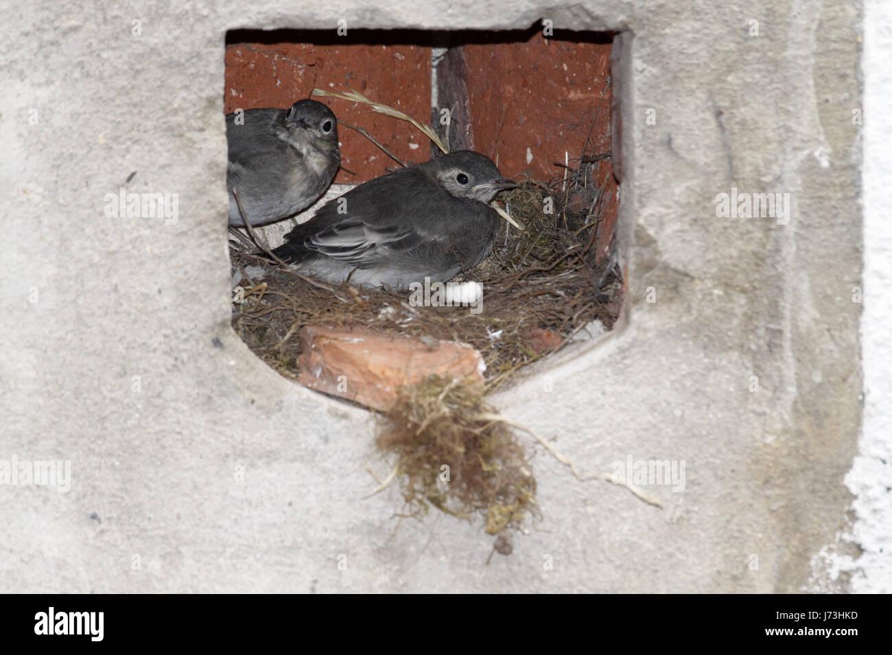 Vogel Vögel nisten Singvogel Bobolinks Bachstelze Stelzenläufer Vögel Nest Vogelfutter Stockfoto