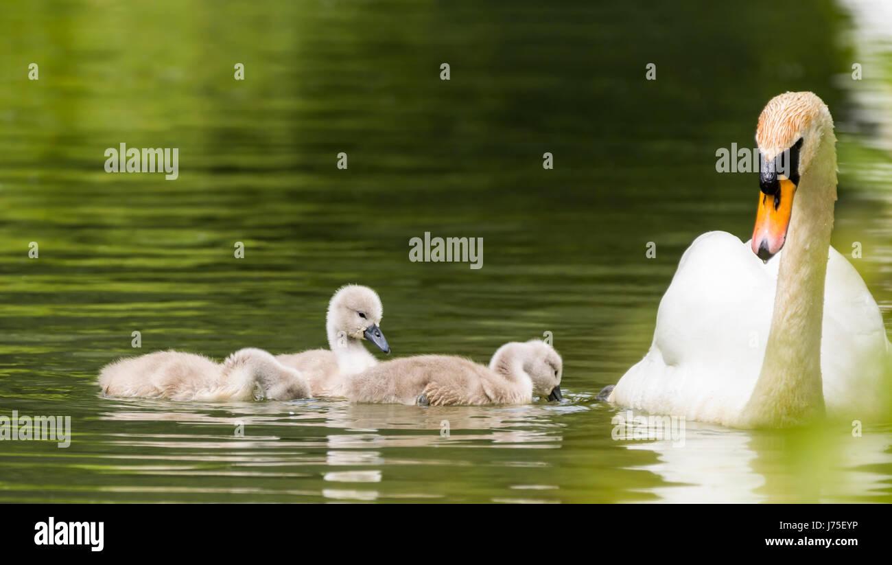 Cygnets. Weiße Höckerschwan (Cygnus Olor), Familie Erwachsener und mehrere Cygnets Schwimmen im Wasser Stockbild
