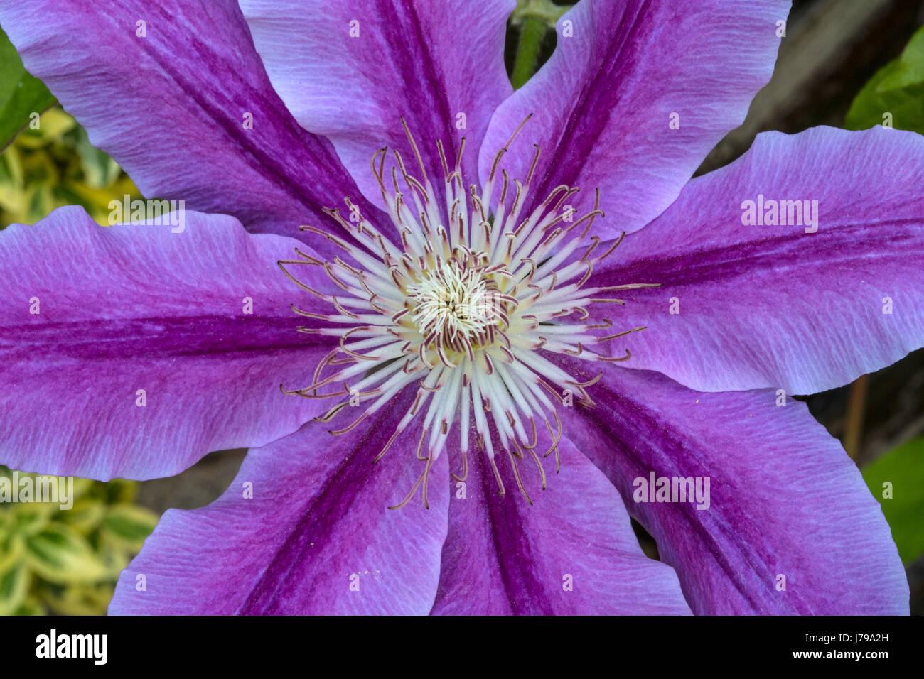 """Blüte Purpur Clematis, die Sorte 'Mrs N Thompson"""", im Englischen Garten. Stockbild"""