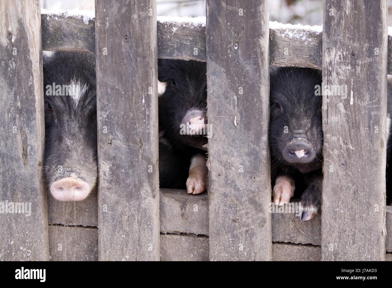 Ausgezeichnet Schwein Drahtzaun Gebäude Fotos - Der Schaltplan ...