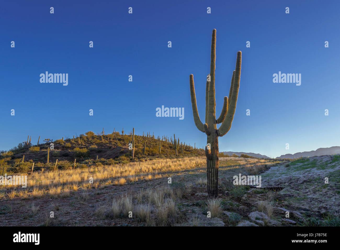 Saguaro Kaktus, Arizona USA Stockfoto