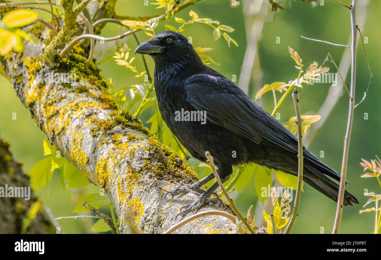 Nebelkrähe (Corvus corone) auf einem Zweig eines Baumes in Großbritannien thront. Stockbild
