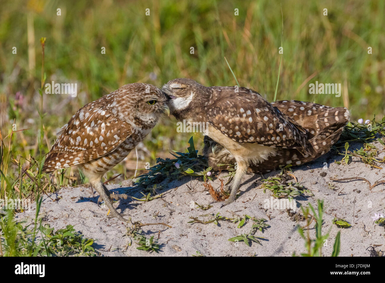 Burrowing Owls (Athene Cunicularia) in Cape Coral Florida Stockbild