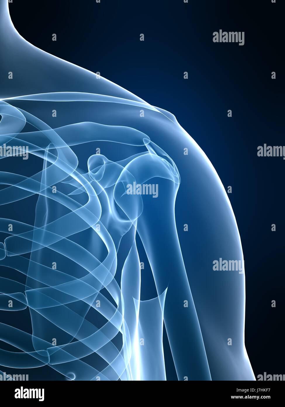 Gesundheit Mensch Mensch Skelett Schulter gemeinsame Anatomie ...