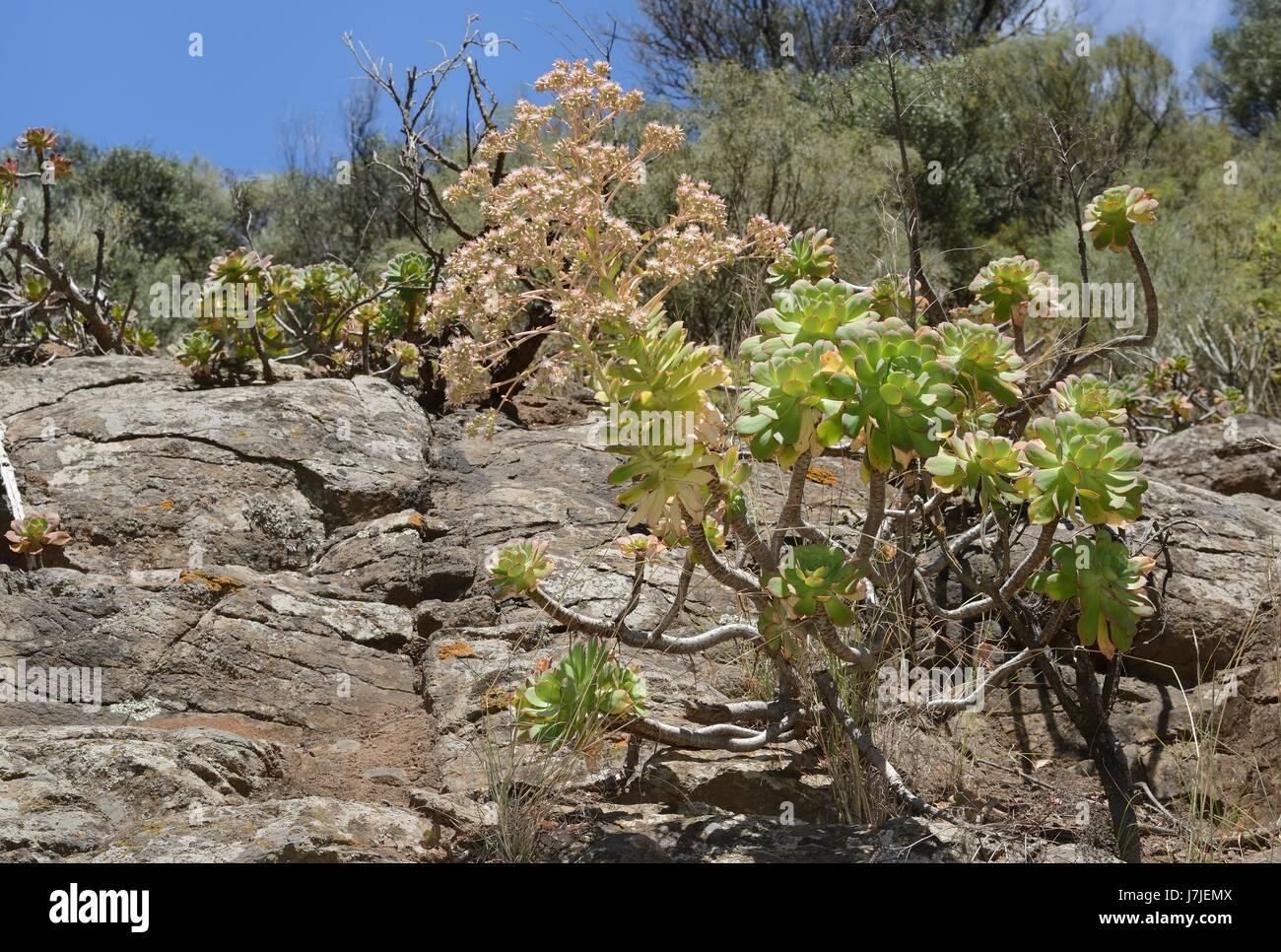 Endemische Aeonium / Baum-Hauswurz (Aeonium Percarneum), eine große Rosa blühenden Arten endemisch auf Stockbild