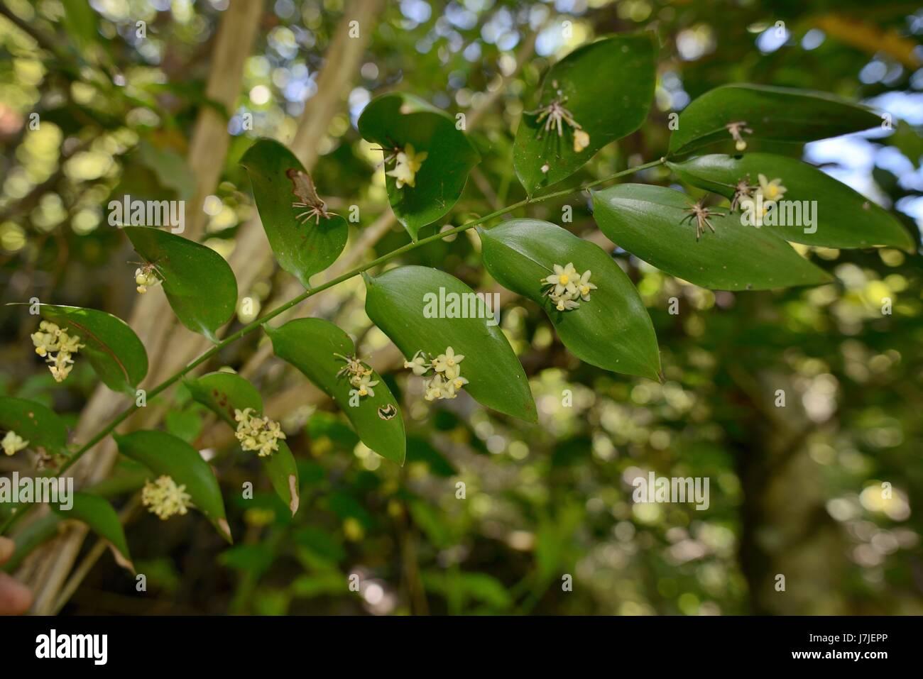 Klettern Mäusedorn (Semele Androgyna) Blüte von blattartigen abgeflachte Stängel oder Kladodien im Stockbild