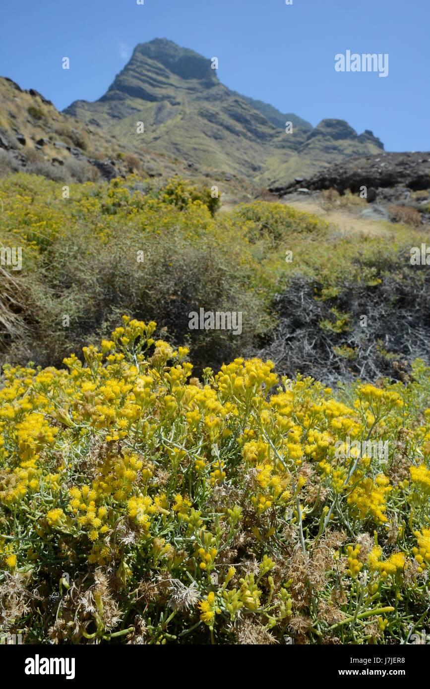 Klumpen von behaarte Schizogyne (Schizogyne Sericea) einer Kanarischen Inseln endemisch am Küsten Buschland, Stockbild