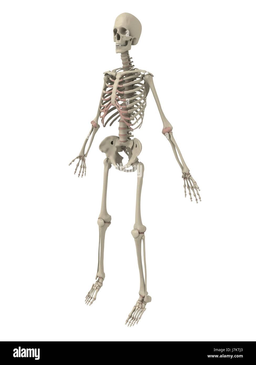 Niedlich Skelett Für Anatomie Klasse Galerie - Menschliche Anatomie ...