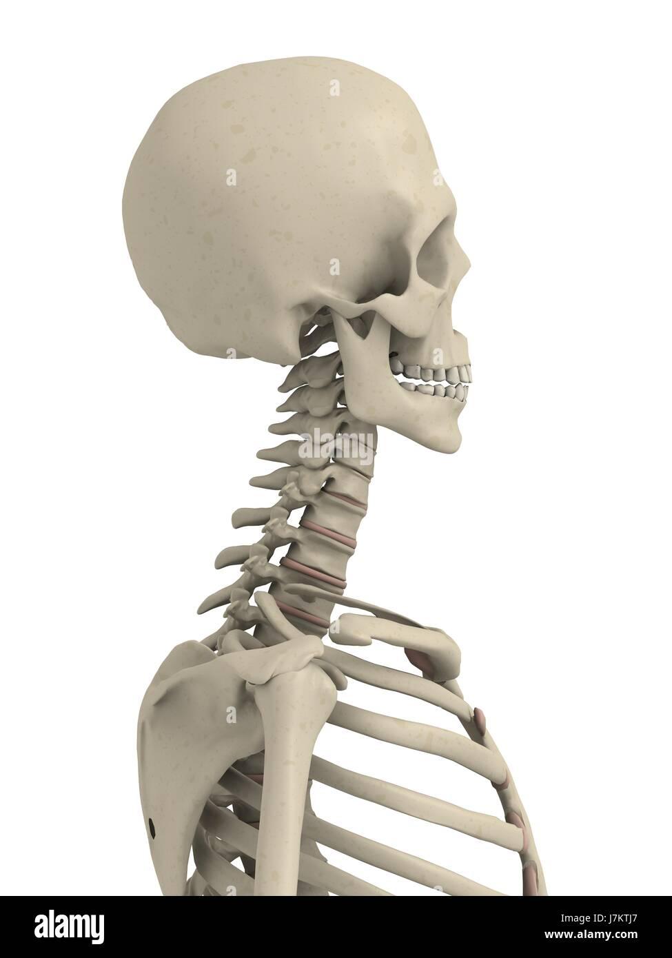 Gemütlich Menschliche Wirbelsäule Skelett Ideen - Anatomie Ideen ...