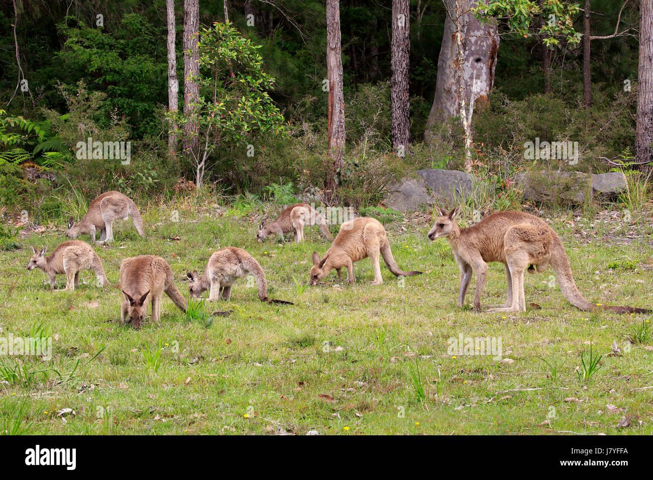 Östliche graue Känguru (Macropus Giganteus), Gruppe Fütterung, Futter, Merry Strand, Murramarang Stockbild