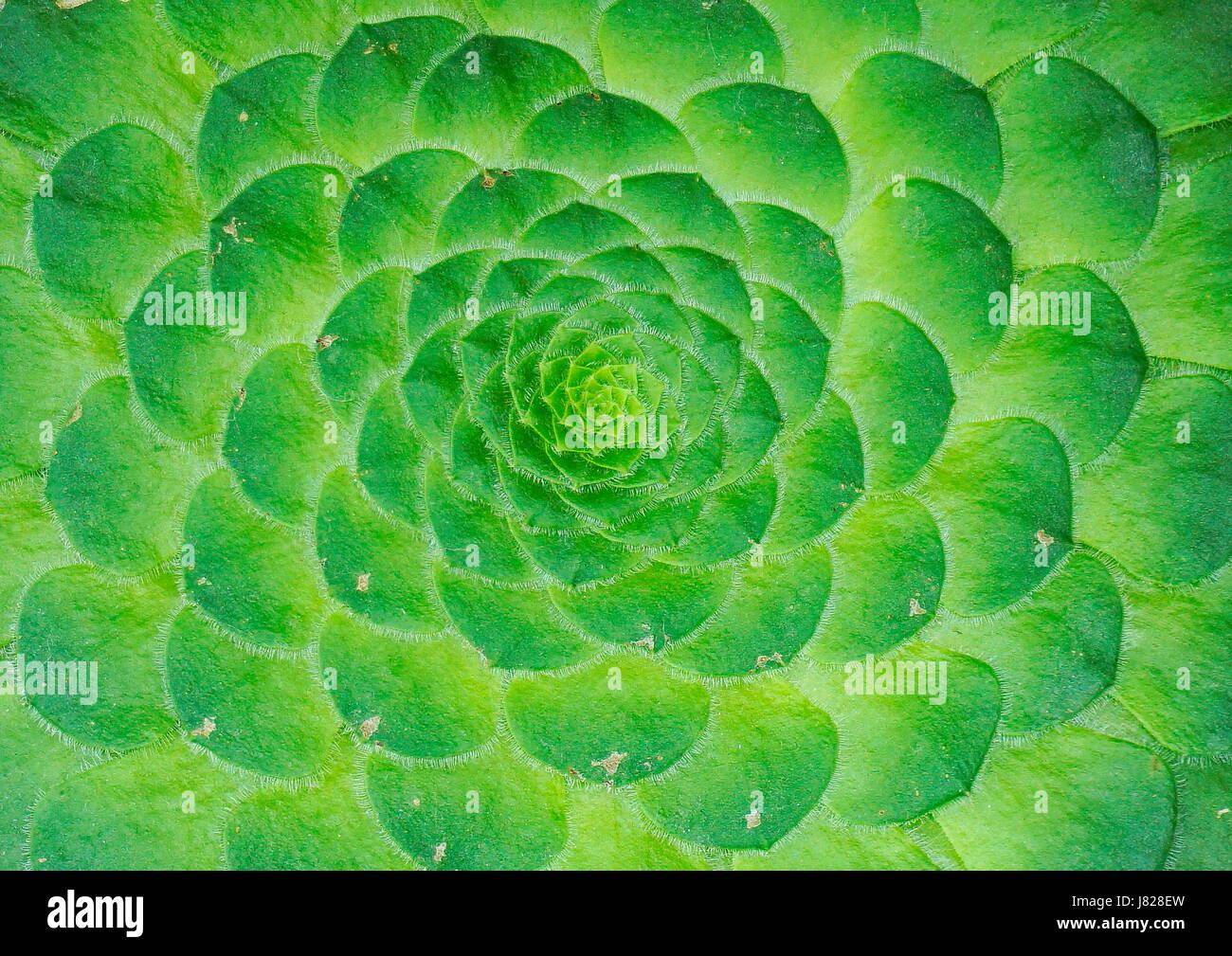 Symmetrische Muster des Zentrums eine Kaktus Pflanze, die eine schöne Wanddekoration Kunst machen Stockfoto