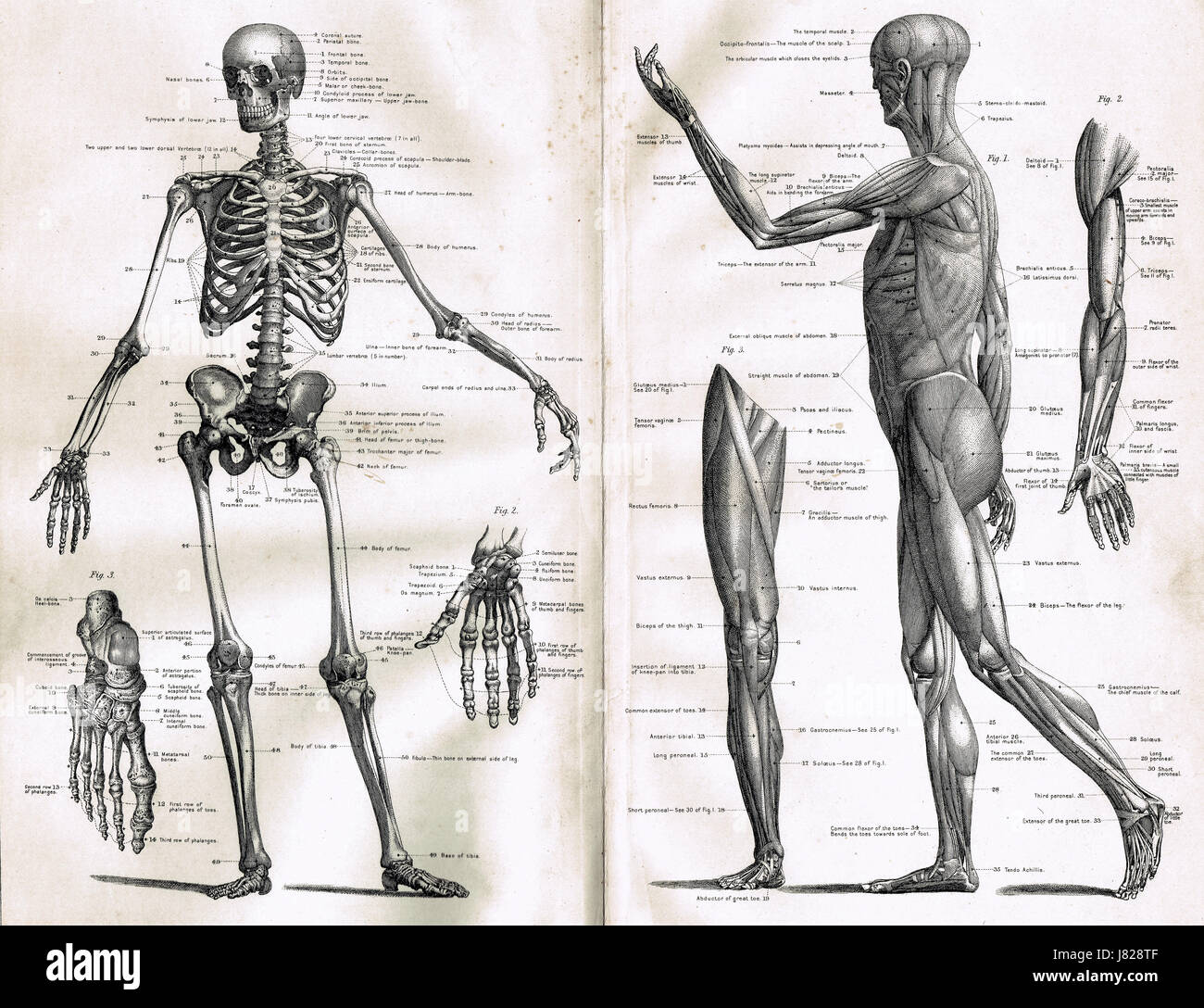 Anatomy Skeletal System Stockfotos & Anatomy Skeletal System Bilder ...