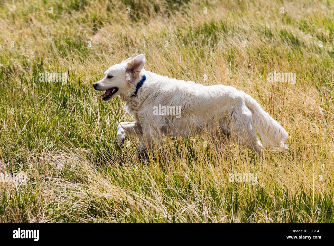 Platin farbige Golden Retriever Hund läuft auf einer zentralen Colorado Ranch; USA Stockbild