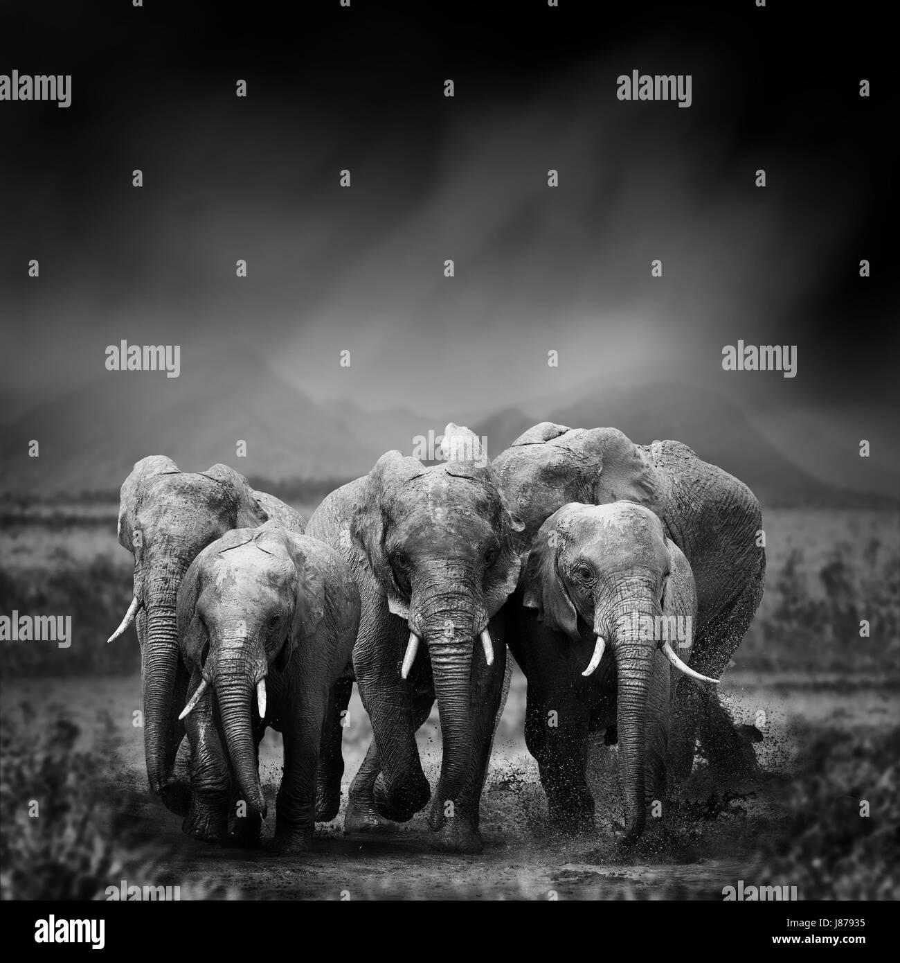 Dramatische Schwarz Weiß Bild Eines Elefanten Auf Schwarzem