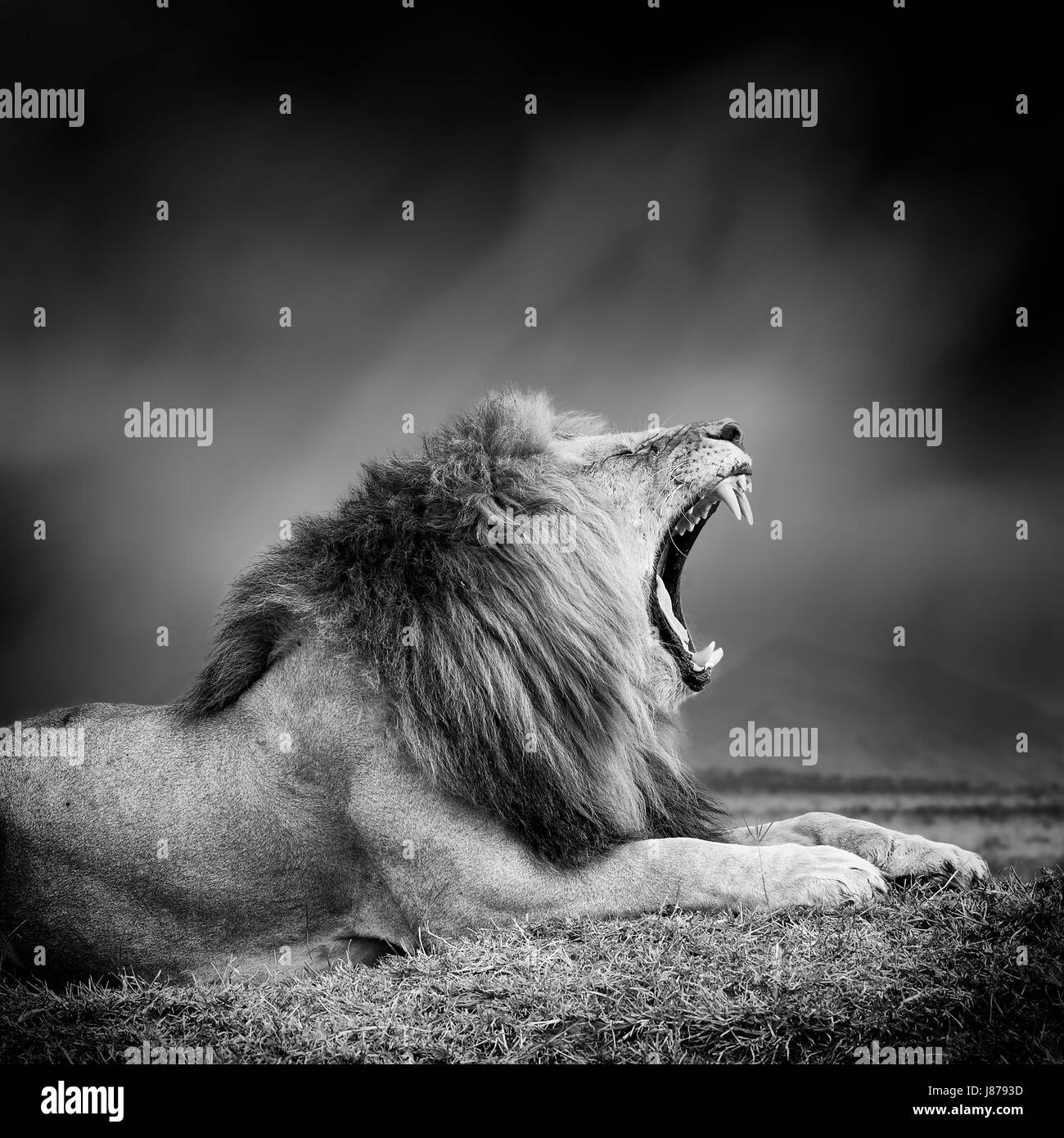 Lion With Black Background Stockfotos Lion With Black