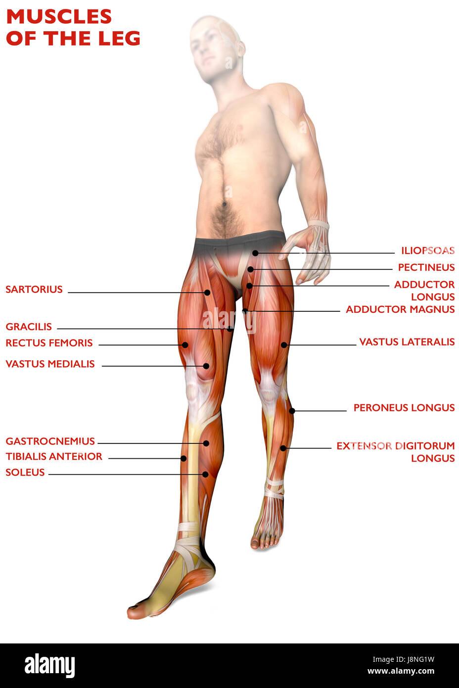 Beinmuskulatur, menschliche Körper, Anatomie, Muskulatur. 3D ...