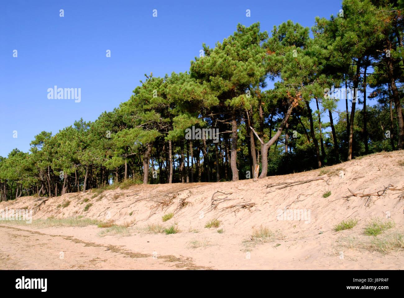 Baum kiefer frankreich nadelbaum d nen sand sand - Kiefer baum kaufen ...