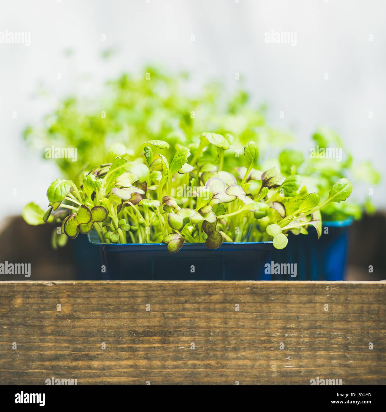Frische Frühlingsluft grüne live Rettich Kress Sprossen, quadratische Ernte Stockbild