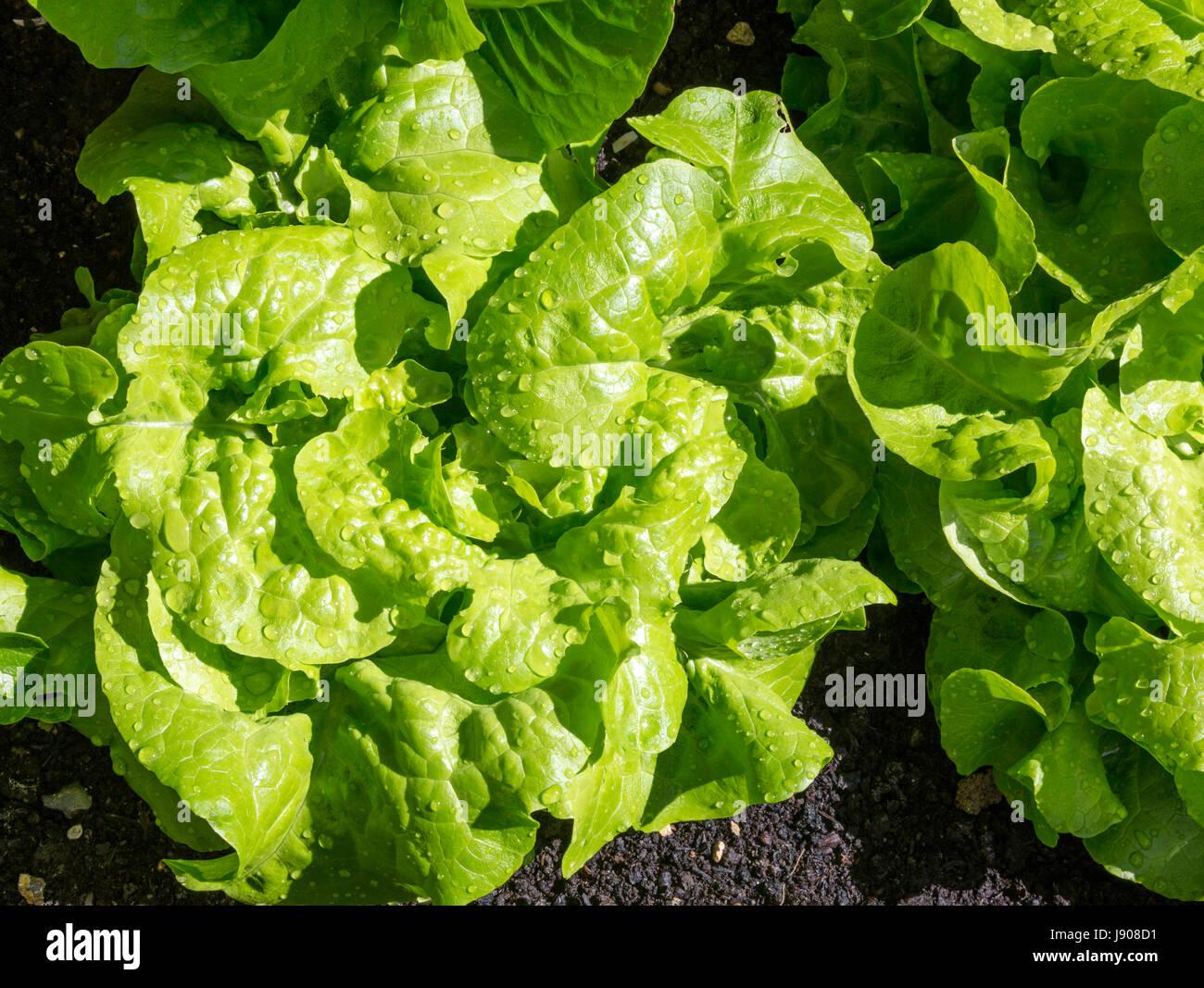 Salat Pflanzen Stockbild