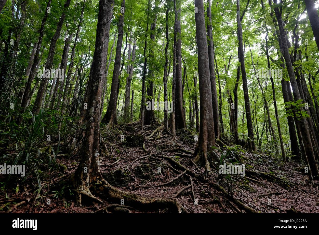 Mahagonibäume  Ein künstlichen Mahagoni Wald dicht in einer zwei Kilometer langen ...