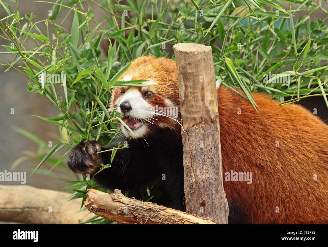 Blatt Tier Bambus Panda Essen Essen Isst Rot Wald Blatt