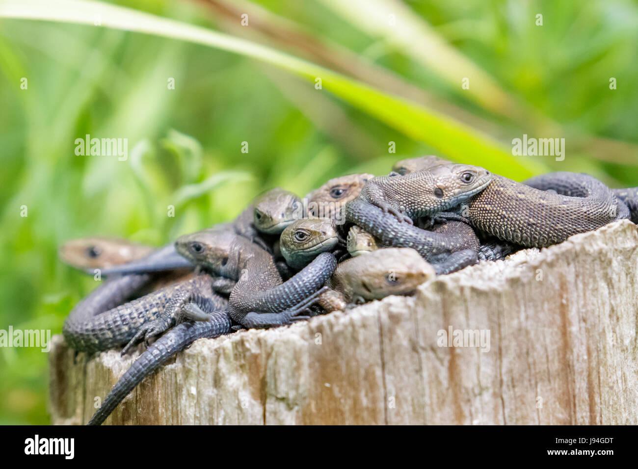 Lounge, Gruppe oder Bündel von gemeinsamen Eidechsen (Zootoca Vivipara) auf einem Baumstumpf log Stockfoto