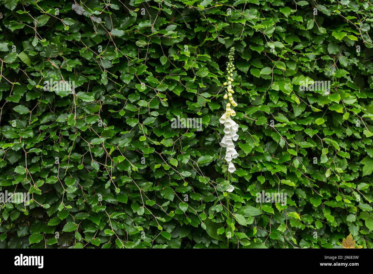 Beech Hedge Fagus Sylvatica Stockfotos & Beech Hedge Fagus