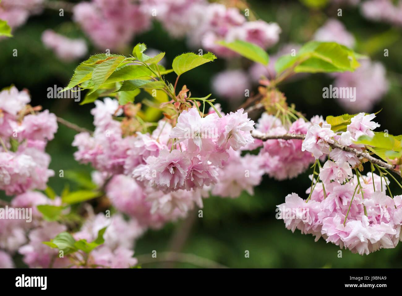 Nahaufnahme von Prunus 'Pink Perfektion' Kirschblüte im Frühling blühen Stockbild