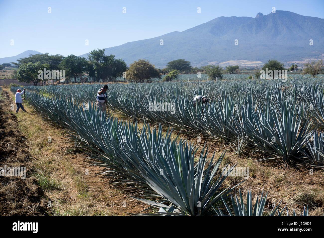 Tequila wird aus der blauen Agave im Bundesstaat Jalisco und vor allem rund um die Stadt Tequila, Jalisco, Mexiko Stockbild