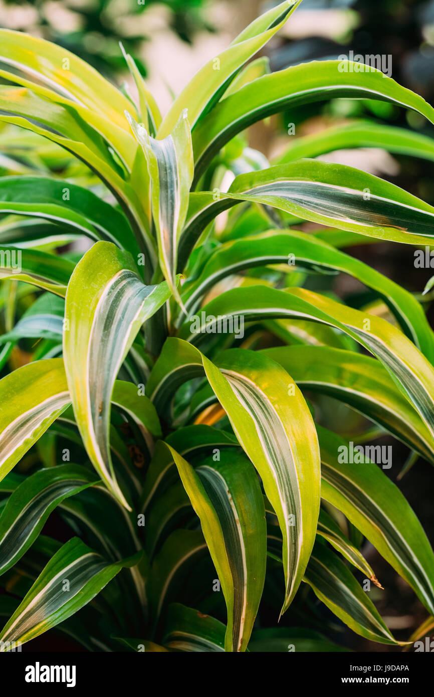 Grüne Blätter der Pflanze Dracaena. Weibliche Drache Pflanze. Familie Asparagaceae, Unterfamilie Nolinoideae Stockbild