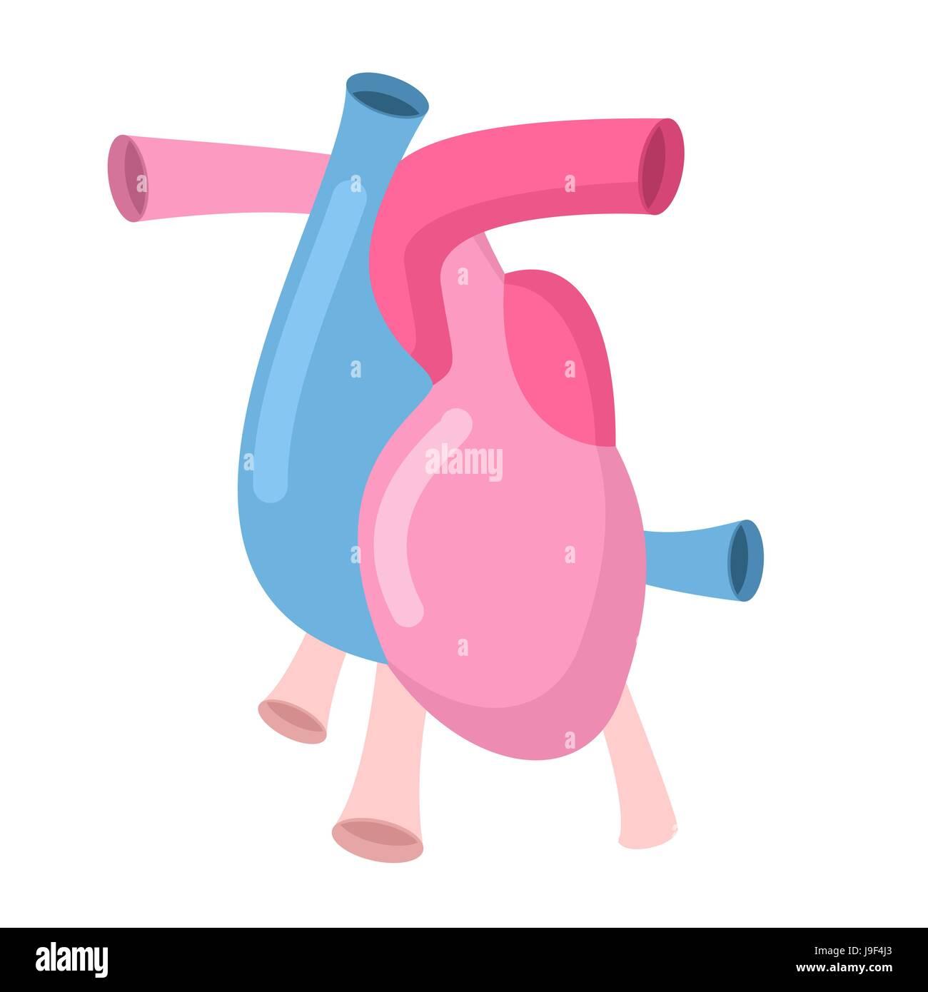 Herz-Anatomie Körper isoliert. Vorhöfe und Herzkammern. Venen und ...