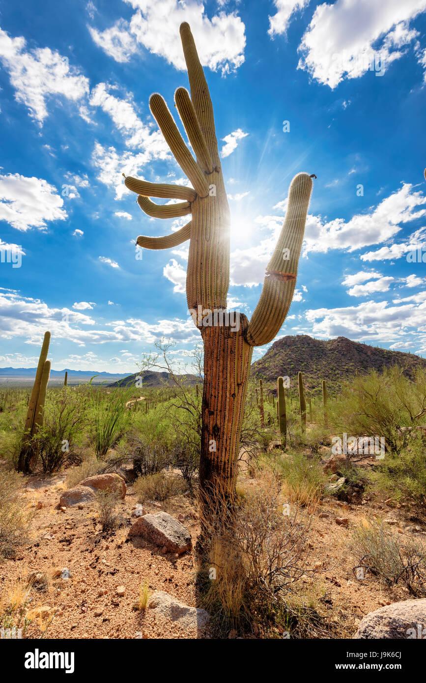 Saguaro Kaktus bei Sonnenuntergang in der Sonora-Wüste, Arizona. Stockfoto