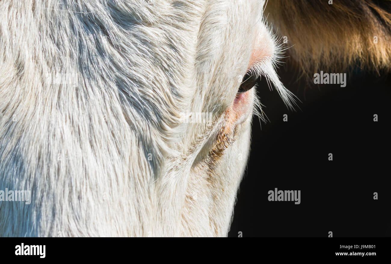 Augen und Wimpern Nahaufnahme des Auges einer Kuh. Stockbild