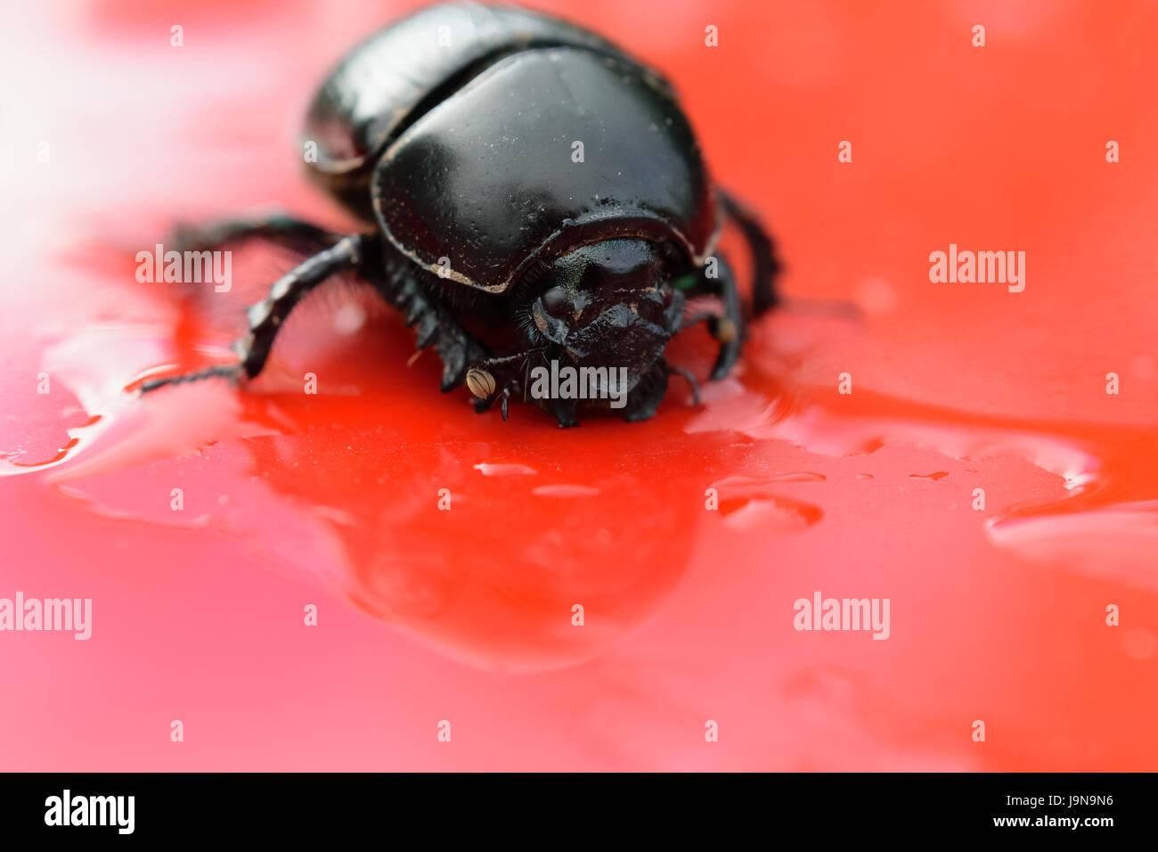 Nahaufnahme des Käfers Dor / Dumbledore Dung Beetle Stockbild