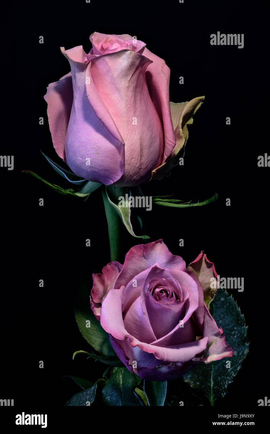 Floral bunt niedrigen wichtige Makro Porträtgemälde der eine Blüte rosa rose Blüte Duo auf schwarzen Stockbild