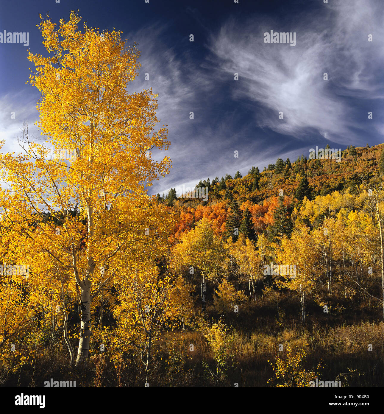 Usa Utah Uinta Mountains Timpanogos Region Holz Baume Herbst