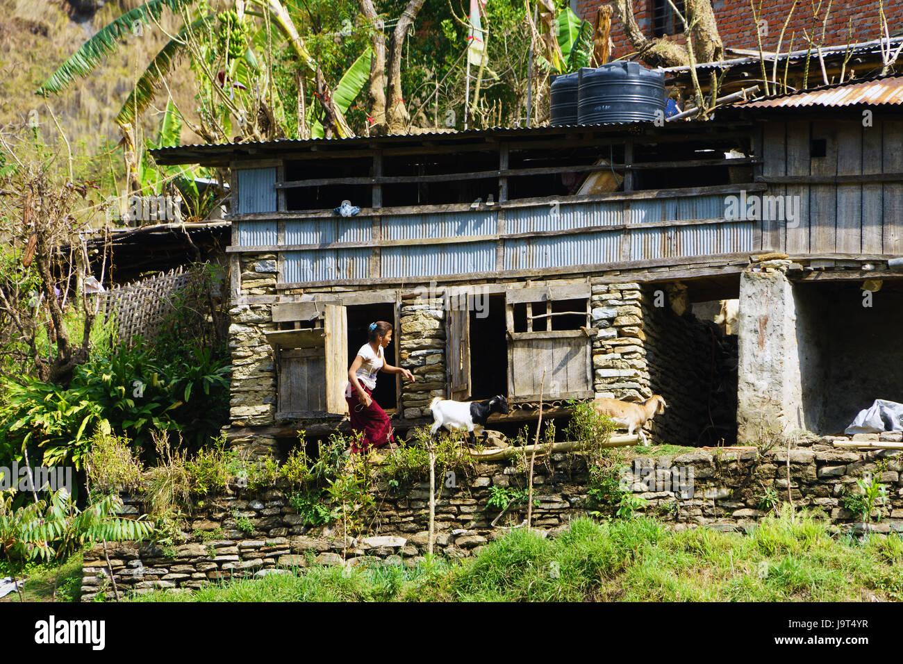 Junge Frau tendenziell Ziegen in Bahundanda, Lamjung Bezirk, Nepal. Stockbild