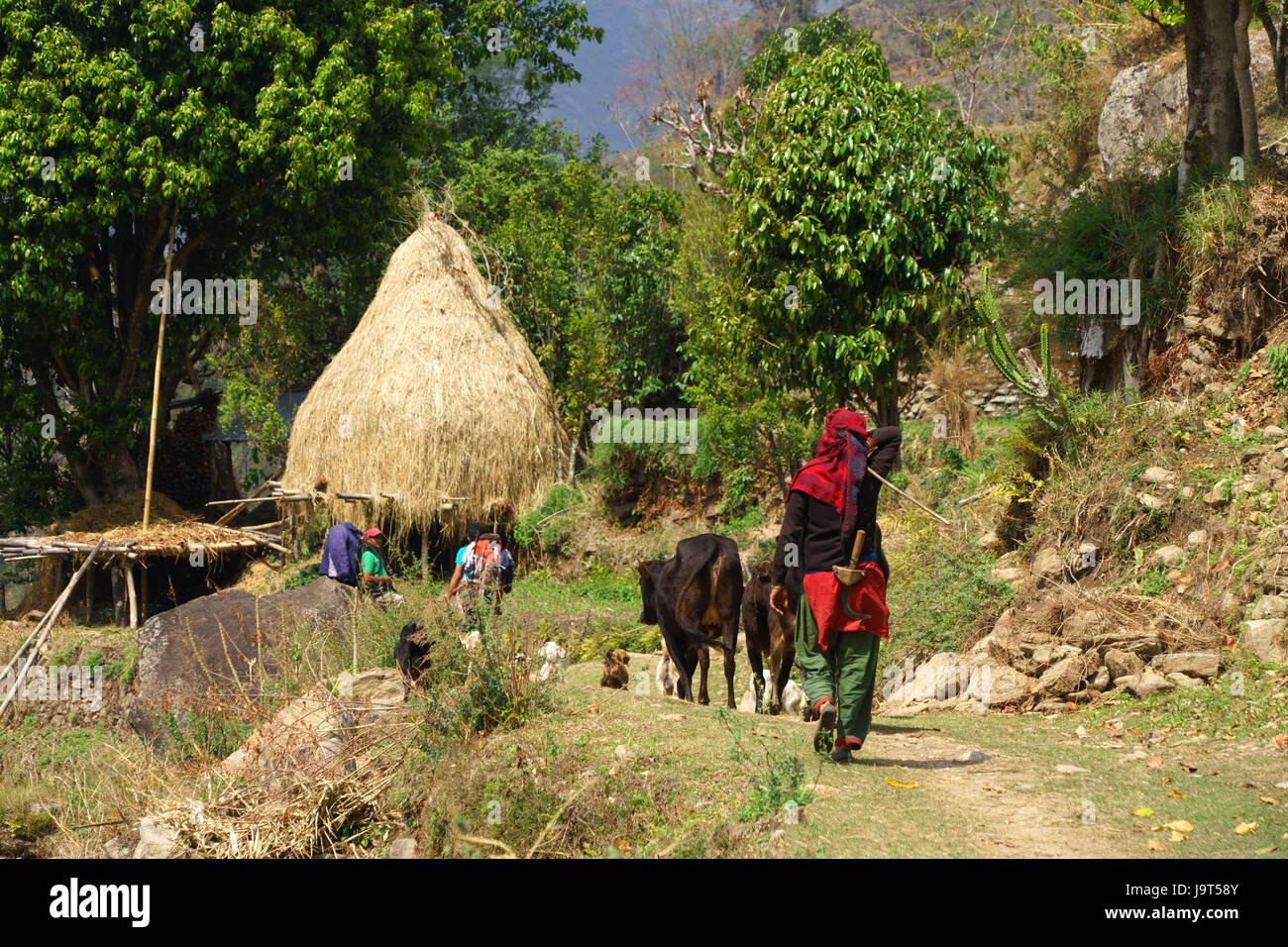 Lokale Frau führenden Rinder auf der Annapurna Umrundung zwischen Lili bhir und ghermu. Stockbild