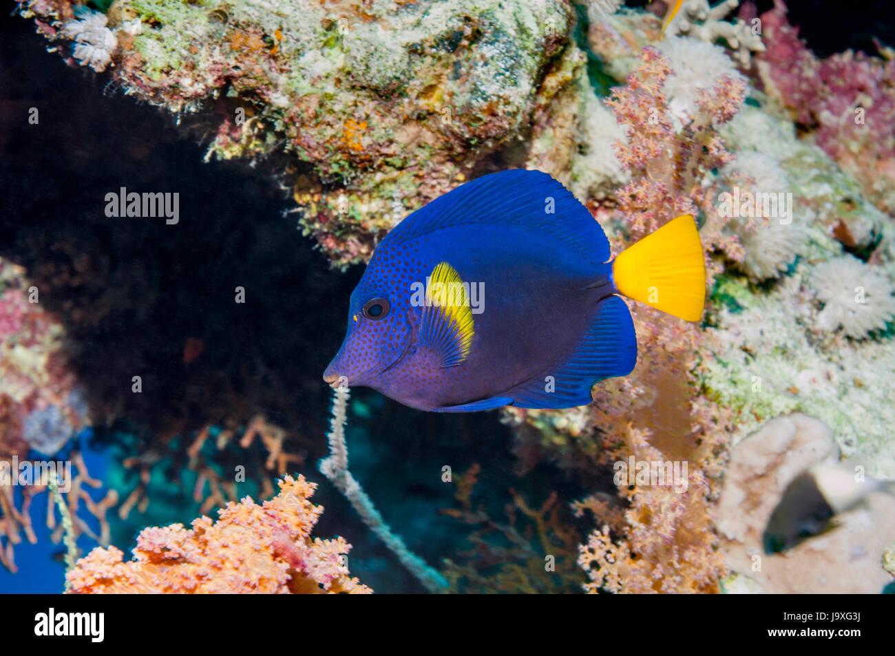 Gelbschwanz Doktorfisch [Zebrasoma Rotmeerdoktor].  Reichweite: im Roten Meer, Persischen Golf.  Ägypten, Rotes Stockbild