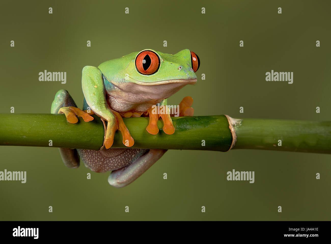 Eine Nahaufnahme Portrait eines roten Augen Laubfrosch hängen an einem Bambussprossen, wir freuen uns und zu Stockbild