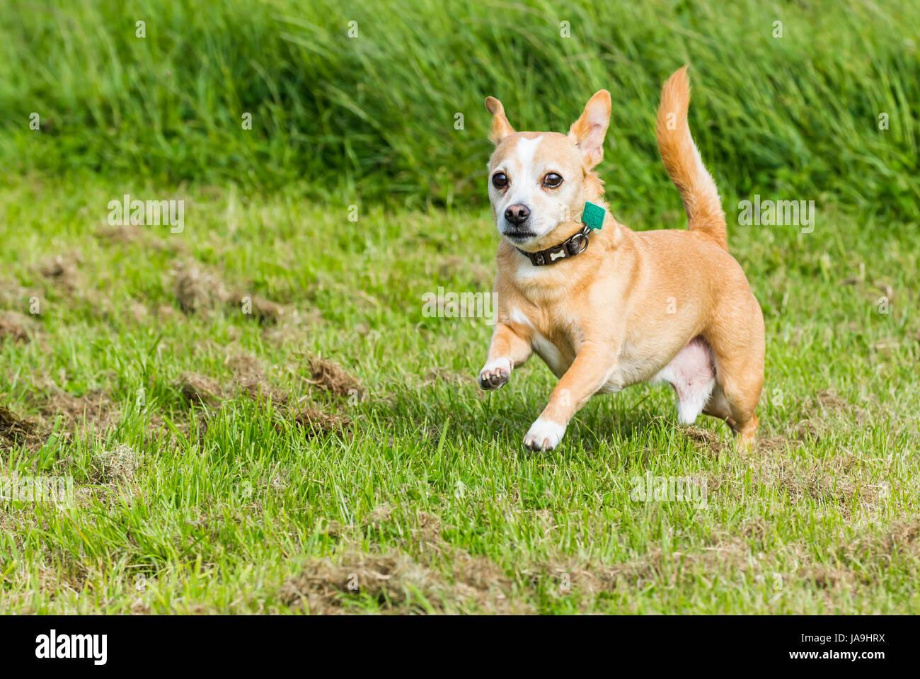 ChihuahuaJack Russell Terrier Dog Mix Im Gras Stockbild