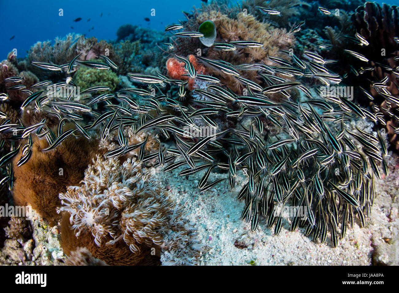 Eine Schule des gestreiften Aal Wels, Plotosus Lineatus, schwärmen über eine indonesische Korallenriff auf der Suche nach Nahrung. Stockfoto